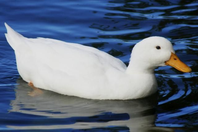 We Bet You Didn't Know These 15 Fun Facts About Ducks!: The pekin duck is the most popular domestic duck.