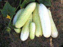 Eko gurka Arboga Vit,  oslagbar smak, fantastisk hållbarhet, kulturarv. Sallads- och inläggningsgurka. Stor skörd, för växthus/bänk/friland. 25kr