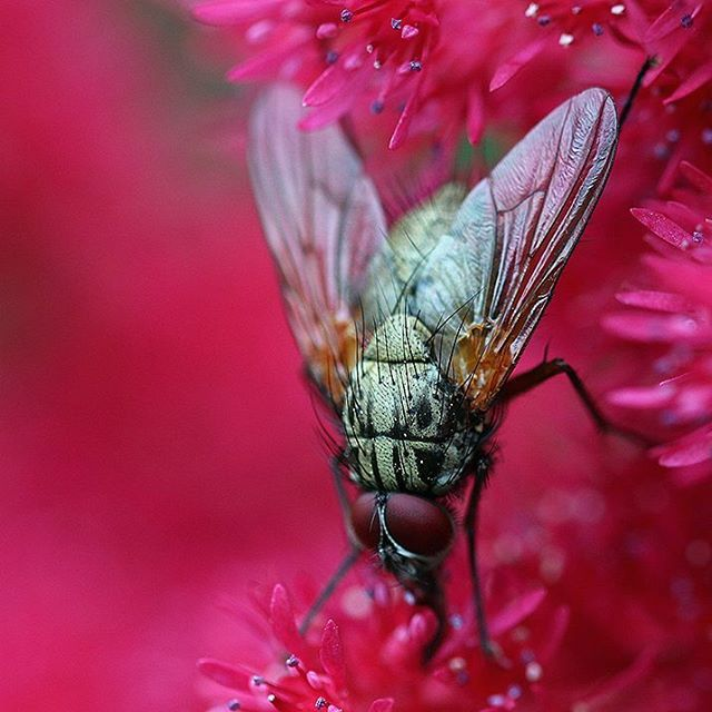 #macrophotography #macrolife #fly #bug #constellationmusca #canon #canonphotography #kärpänen
