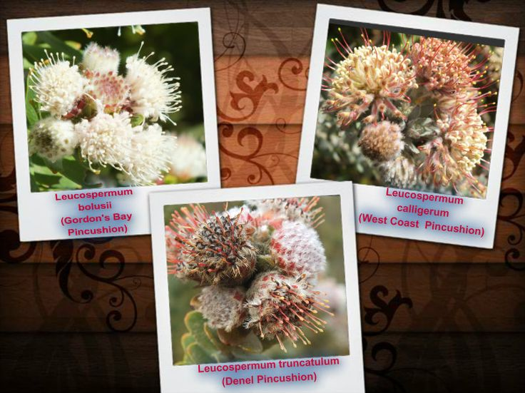 Varied Leucospermum