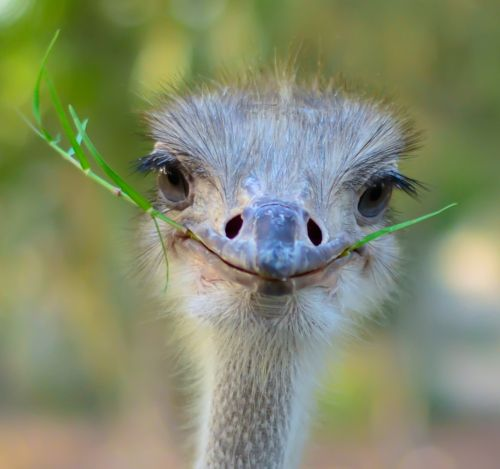 ostrich ... is he smiling at me?