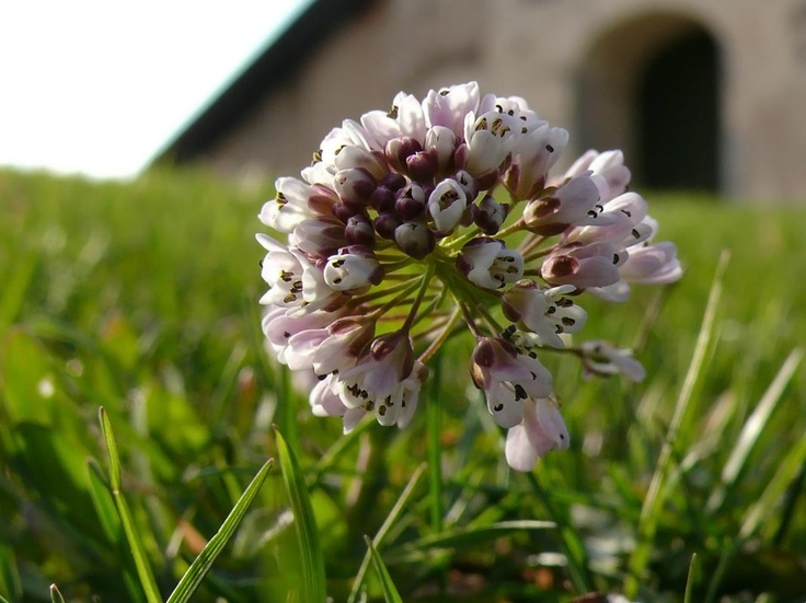 """Flor silvestre genera una """"armadura"""" metálica contra las enfermedades."""