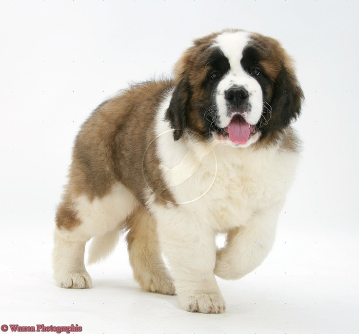 st bernard puppies - Google Search