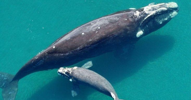 A baleia Alfonsina nada com seu filhote em imagem cedida pelo ICB (Instituto de Conservação de Baleias). Mais de 4.000 pessoas de 20 países adotaram simbolicamente uma baleia-franca-austral por meio do instituto para contribuir com estudos científicos sobre esses animais