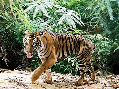 SPEAK OUT!  TELL CONGRESS TO PROTECT TIGER HABITATS!  In 2008, Congress recognized the threat of deforestation to wildlife and people by amending the Lacey Act of 1900 to prohibit illegal timber and timber products from entering the US market.Tell Congress you support the 2008 Lacey amendments. PLEASE SIGN AND SHARE!