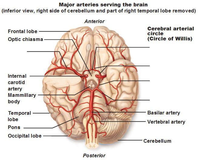 Más de 25 ideas increíbles sobre Círculo arterial cerebral en ...