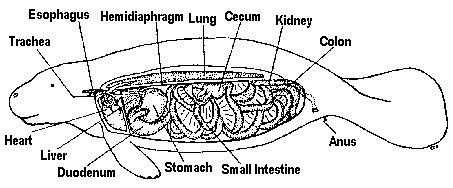 Manatee Anatomy Facts