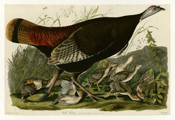 "Search results for ""Wild turkey public domain"" - Wikimedia Commons"