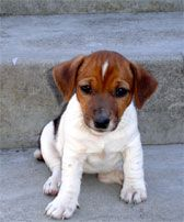 Jack Russell Terrier: Training Tips For Jack Russell Terrier Dog Breeds