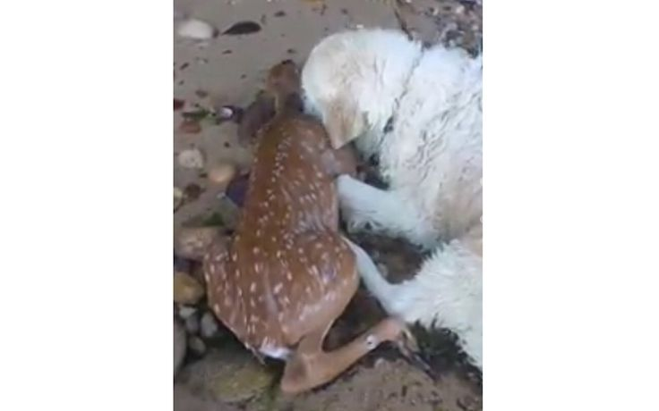 Heroescome in all shapes and sizes, and species. On a recent walk in Long Island with his guardian,Mark Freely,acourageous dognamed Storm swam out into the water to save a drowning babyfawn.