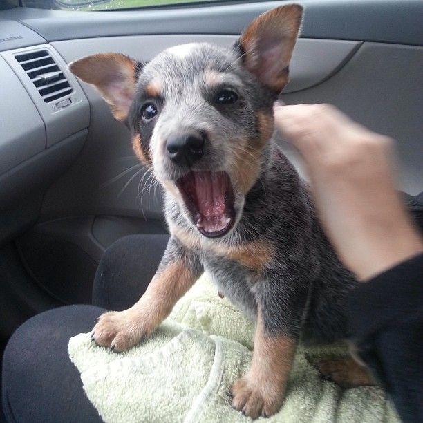 Blue Heeler, damn these dogs be cute.