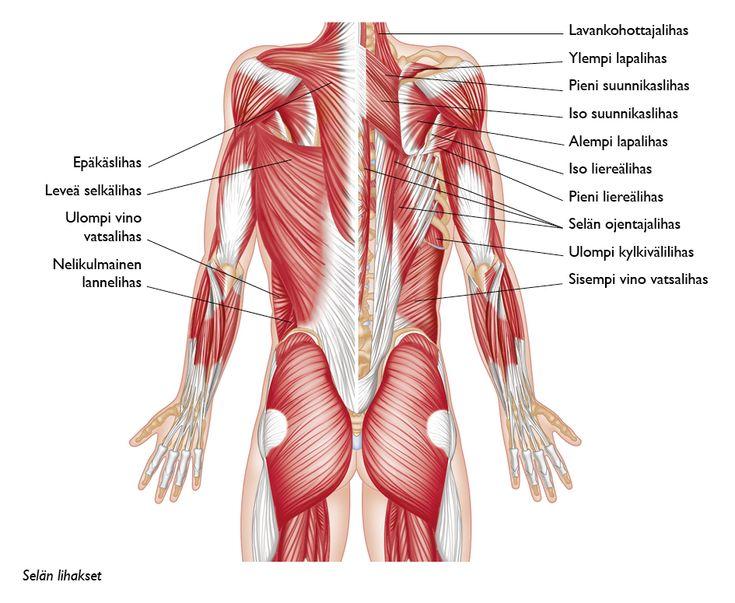 Selkäpuolen lihakset suomeksi