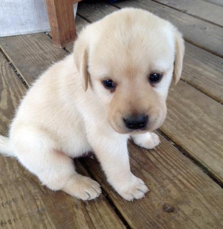 Labrador Retriever puppy - too cute