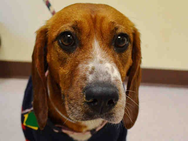 Meet JUNEAU, a Petfinder adoptable Beagle Dog | New York, NY | Petfinder.com is the world's largest database of adoptable pets and pet care information....