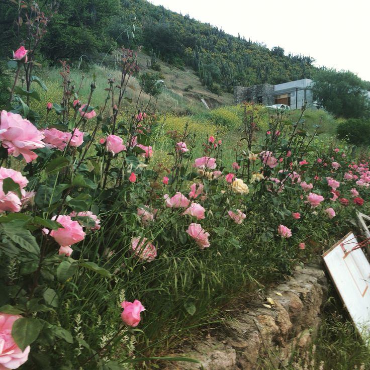 Rosas en primavera