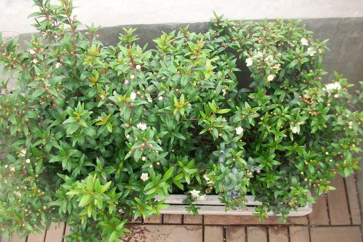 Les muestro esta jardinera de mirtus en plena floración. En el área mediterránea es una planta típica de estepa. También actualmente el mirto se usa como adornos en bodas y en el área mediterránea para proteger a los santos. En el oriente medio es el símbolo de la paz. El intenso y agradable aroma que despide recuerda una mezcla de laurel, eucalipto e incienso y este refrescante olor se encuentra en muchas aromaterapias.