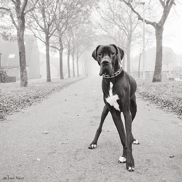 Dane: Beautiful Danes, Great Dane Dogs, Danebabi Dogs, Baby Dogs, Beautiful Pictures, Big Dogs, Beautiful Dogs, Great Danes Dogs, Future Dogs