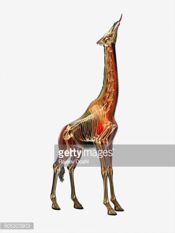 Illustration, anatomy of Giraffe (Giraffa camelopardalis)