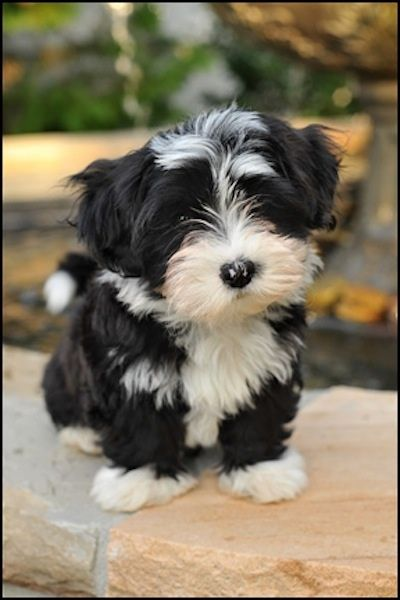 Havanese. Emmalyn LOVED this breed of puppy! She kept petting it and giggling. Hypoallergenic, doesn't shed and great with kids! Next puppy.... I think so! Christmas present in a few years :-)