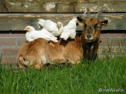 Geiten en kippen gaan goed samen...