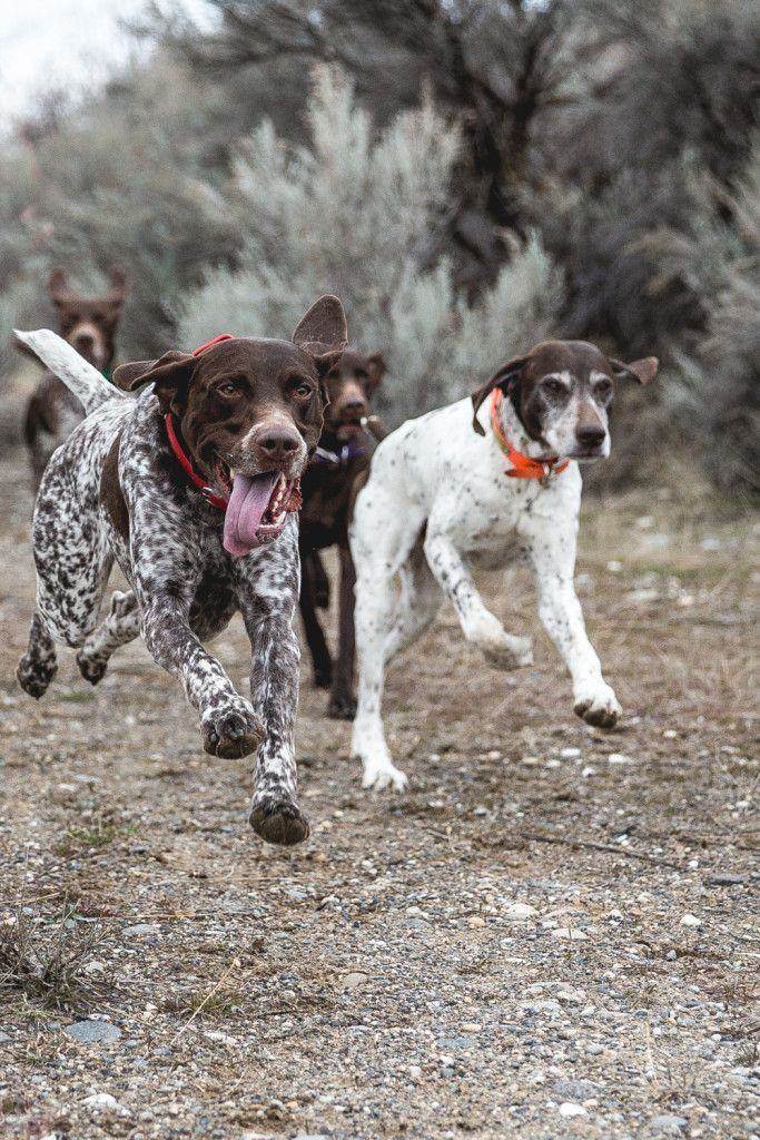 German Shorthaired Pointers ~ Classic Look