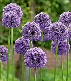 When I have a garden I'm going to plant some of these fun flowers. Apparently they're are called Alliums. I call them purple puff balls.