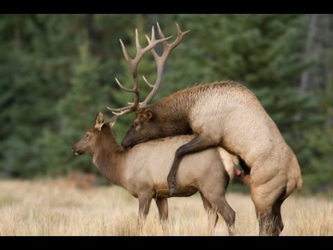 Deer Mating With Human