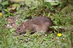 Ratten sind nicht mit jedem Köder zu fangen - oft hilft nur Gift