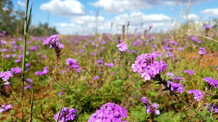 Verbena flowers near Talwood,  QLD