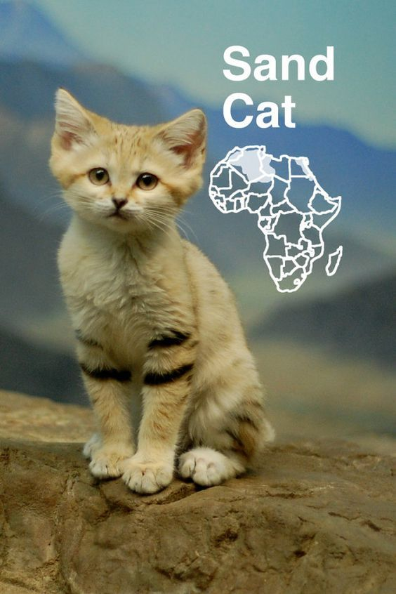 Sand cats - Cutest Cats >>> Read more info by clicking the link on the image. #catcare