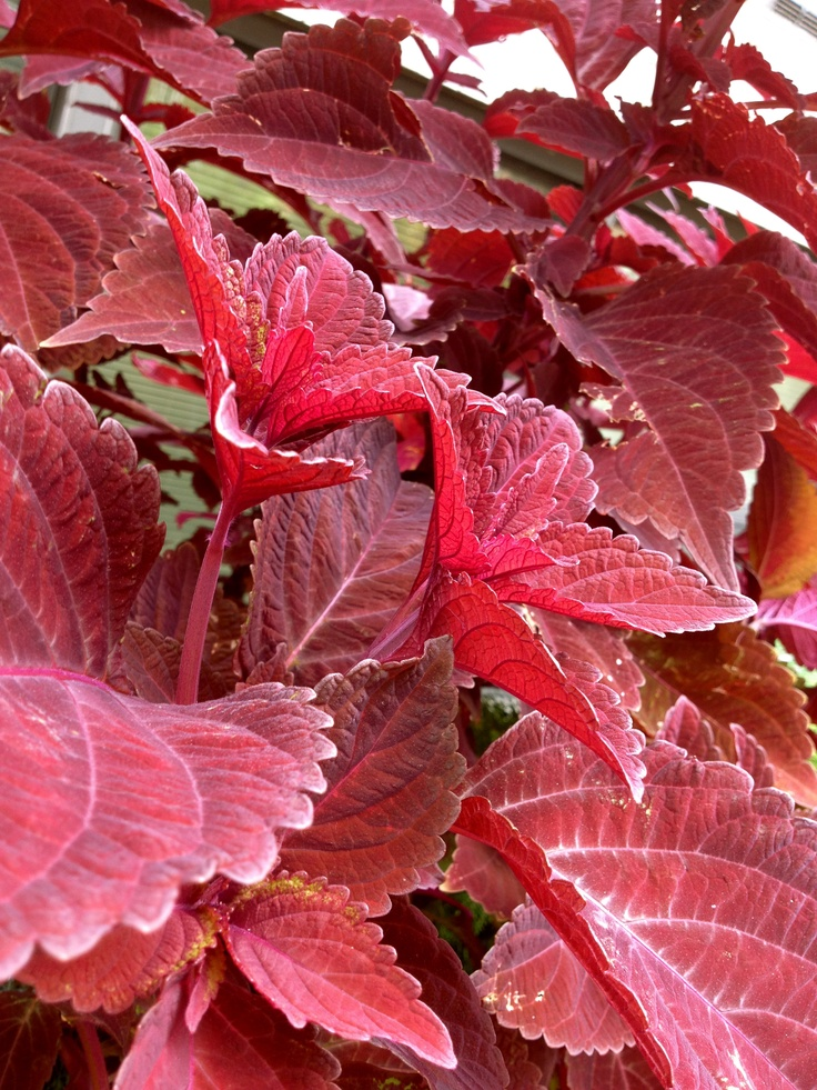 More photographs of this burgundy coloured leaf.