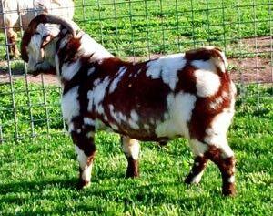 Spotted Boer Buck- Max Boer Goats