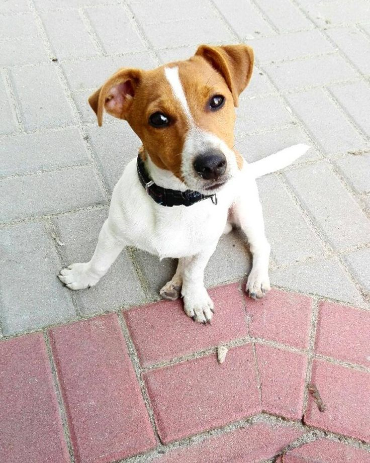 We sure love our Jack Russell Terriers