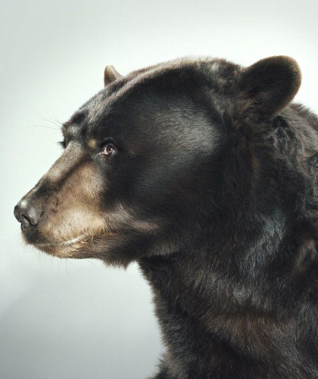 Portraits of bears by Jill Greenberg (32 Photos)