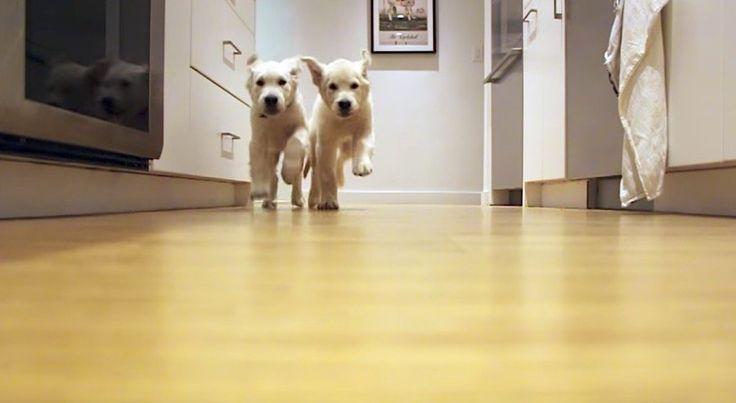 Mit jedem Happen ein bisschen größer: Zwei Golden Retriever wachsen im Zeitraffer   Hund müsste man sein! Jeder Tag beginnt mit einem Abenteuer und überall gibt es Neues zu erschnüffeln. Damit der Vierbeiner für all die Eindr�...