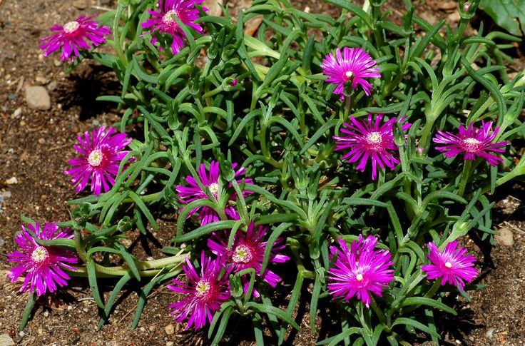 Purple ice plant, despite its South African origins, is a hardy flower. Delosperma cooperi is a popular plant of the group, used as a ground cover.