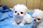 i'm officially obsessed with teacup maltese