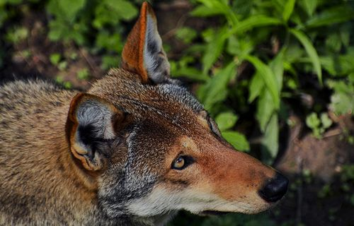 Protect North Carolina's Endangered Red Wolves. http://forcechange.com/40983/protect-north-carolinas-endangered-red-wolves/ #SeaShepherd #defendconserveprotect