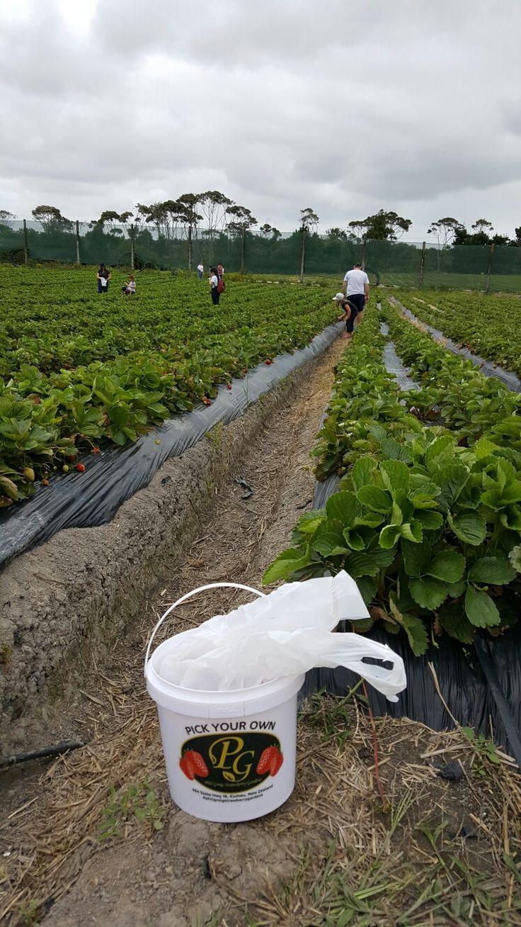 Strawberry picking kumeu