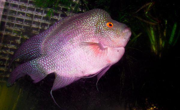 Regal Purple Starburst Flower Horn Cichlid 3 4 Inches Cichlids Aquarium Fish For Sale Horns