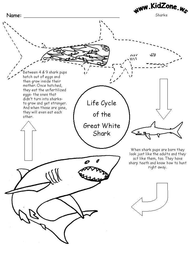 Shark Activity Sheet - Lifecycle of a Shark