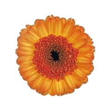 Germini Bandola (length 44 cm) is a beautiful flower that is great for weddings! Also brilliant for promotions! Head over to our website www.trianglenursery.co.uk to get more info! Great wholesale prices!