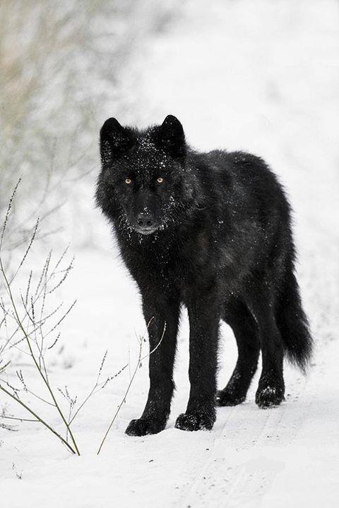 Wild Black Wolf in the Canadian Rockies by John E. Marriott