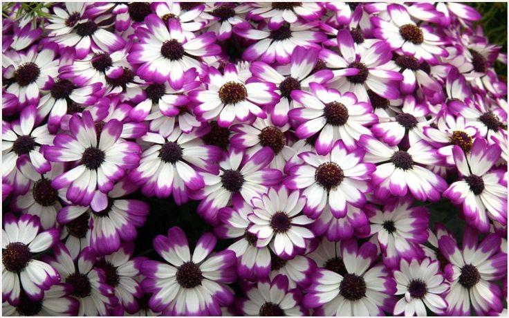 Cineraria Purple Flowers Wallpaper | cineraria purple flowers wallpaper 1080p, cineraria purple flowers wallpaper desktop, cineraria purple flowers wallpaper hd, cineraria purple flowers wallpaper iphone