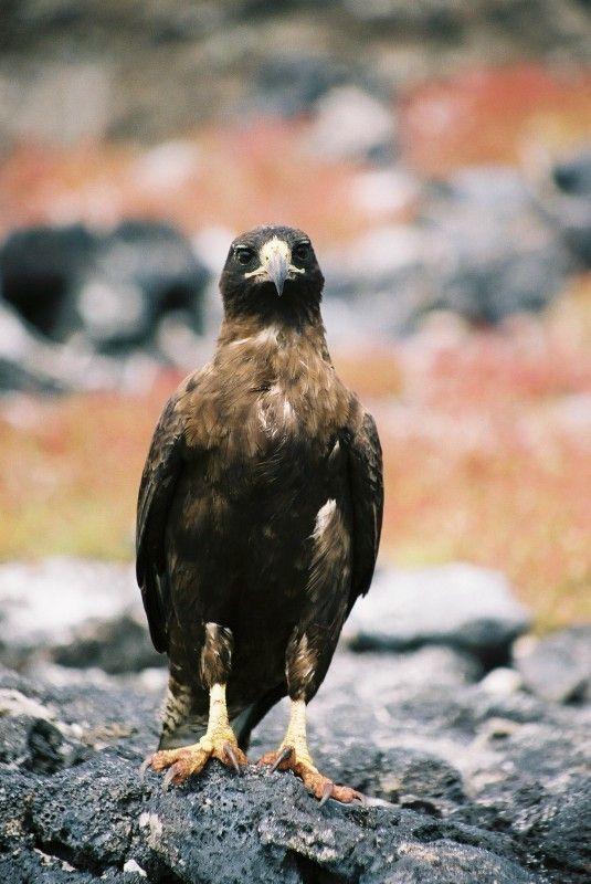 Santa Cruz, Galapagos. Galapagos Hawk