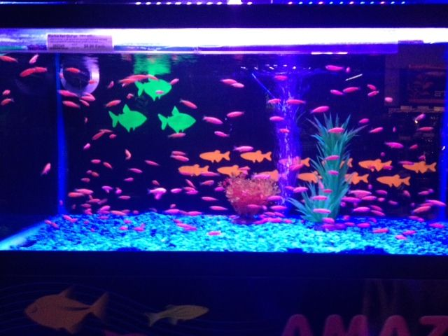 8 best images about glow fish on pinterest glow neon for Neon fish tank