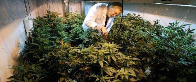 Gesundheitsministerium kündigt staatlich kontrollierten Cannabis-Anbau an:Sonntagmorgen verkündete die Welt die freudige Botschaft, dass sich das Gesundheitsministerium nach langem Hin und Her daz…