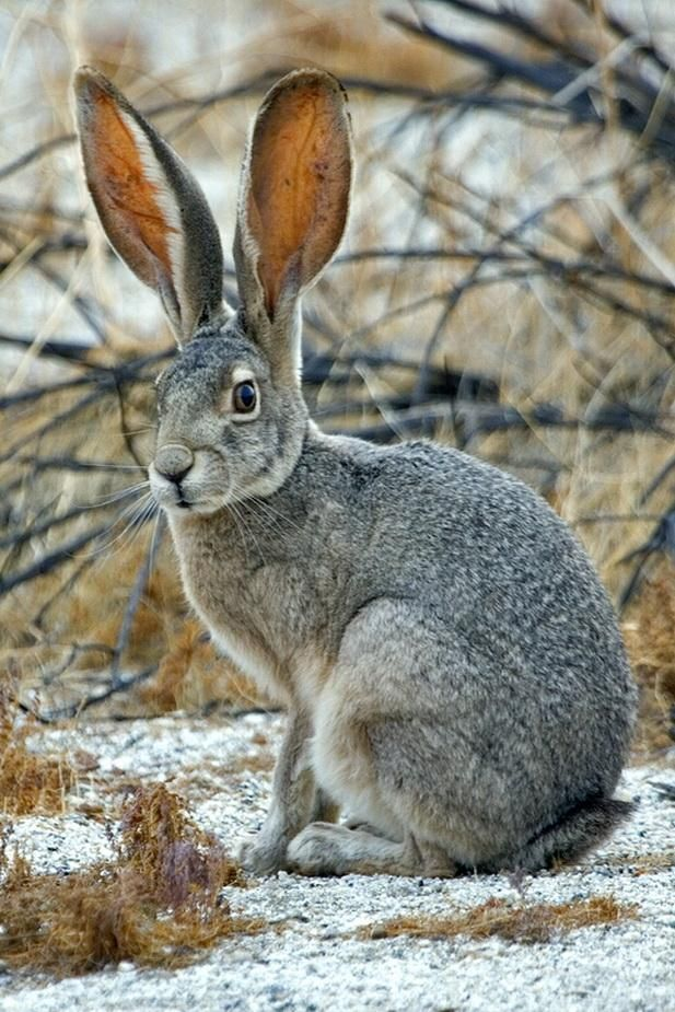 Jack Rabbit, Visitor's Center, Anza Borrego Desert State Park, Borrego Springs, California by alan/elaine wilson - Pixdaus