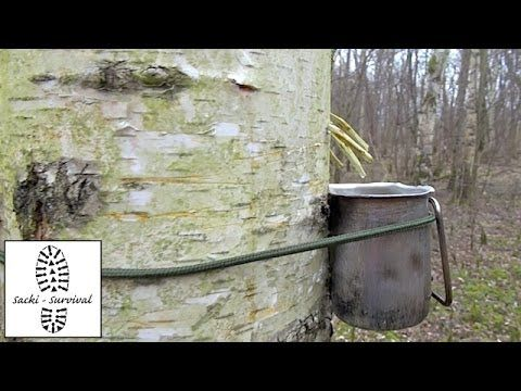 Im Frühling schießen in den Baumstämmen nahrhafte Säfte nach oben, damit die Knospen ausschlagen und sich die Blätter entfalten können. Die Birken transporti...
