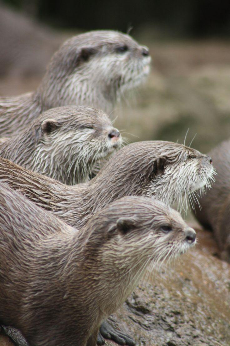 River Otters   Nicki